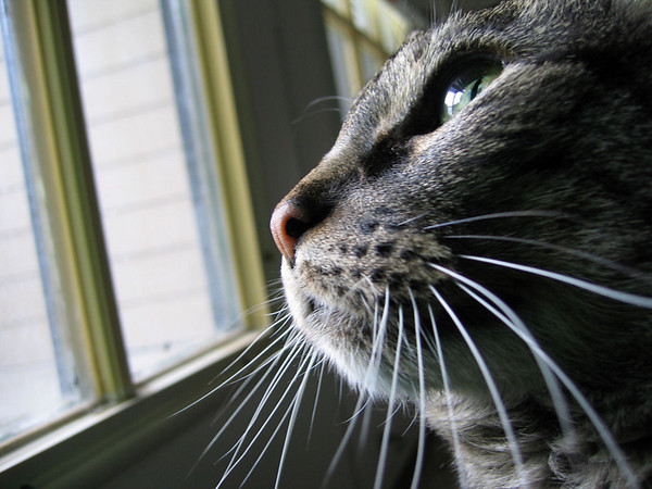 A close-up of Grendel in natural light as he looks out the bedroom window (189_8924)