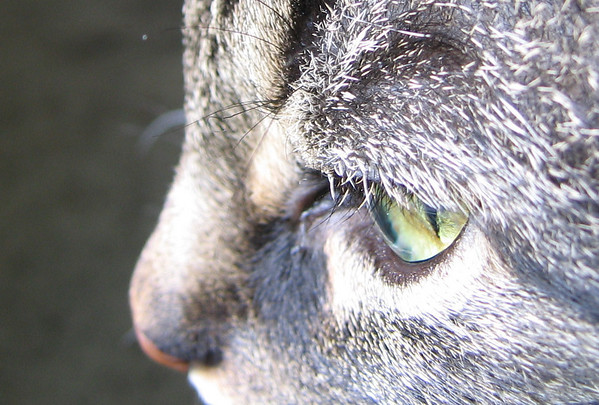 A close-up of Grendel's eye as he looks out the bedroom windows (189_8927)