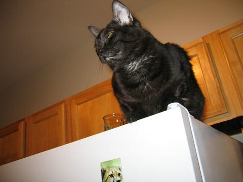 Kako sitting atop the refrigerator surveying her kingdom (103_0336)