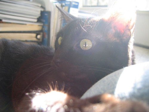 Kako, backlit by sunlight, clinging to my knee with her claws as she lies next to me on the floor (160_6081)