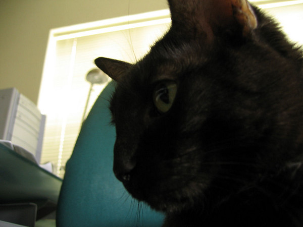 A close-up of Kako sitting in my desk chair (190_9033)