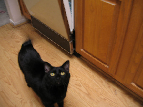 Kazon standing in the kitchen twitching his tail (180_8091)