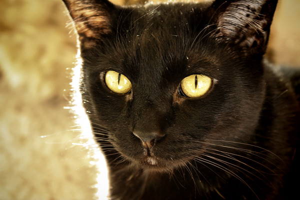 A close-up of Kazon, one of my cats, backlit by sunlight (2009_02_28_011609)