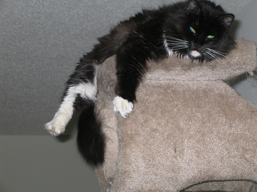 Loki atop the cat castle with legs and tail dangling over the edge (141_4155)