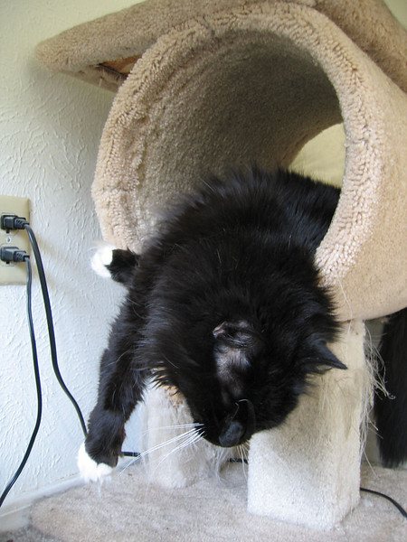 Loki sleeping with his front half hanging out of the cat tree (181_8105)