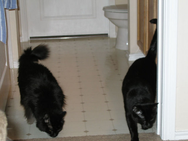 Loki and Kazon (left to right) coming out of the bathroom after playing under the sink (in the cabinets) for a while. (107_0744)