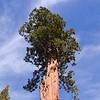 This a Cedar tree