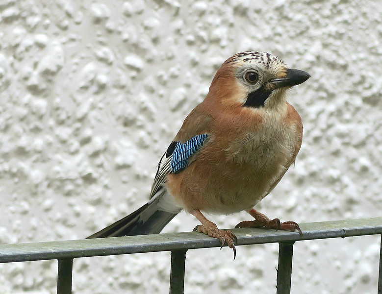 This was strange.   This Jay was standing on the railing and we assumed it would fly away as we approached but it stayed where it was while we stood looking at it.   We concluded that it was being fed by the occupiers of the adjacent cottage.