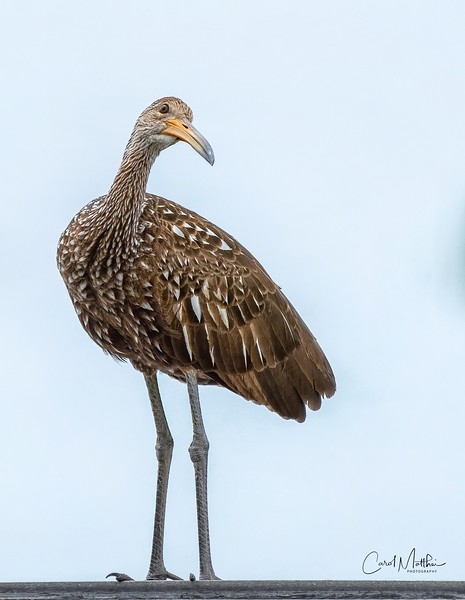 Limpkin on Portrait Day