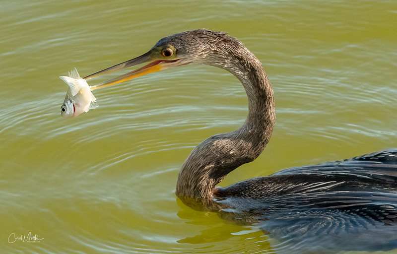 Anhinga with a little snack-2