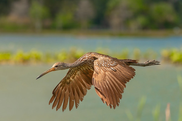 Flight of the Limpkin-Flaps down