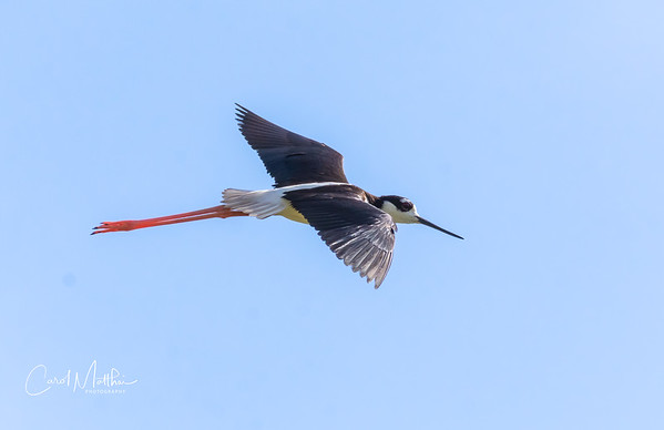 Black neck stilt     fly by-6