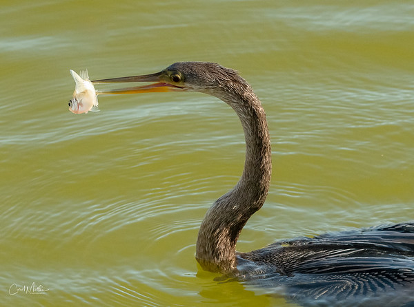 Anhinga with a little snack