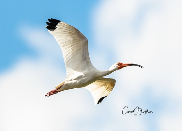 White Ibis flying off-1554687910169