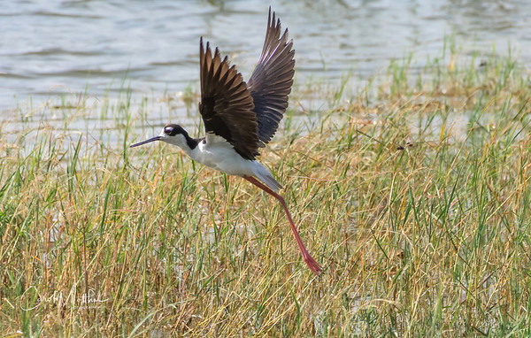 Black neck stilt     take off
