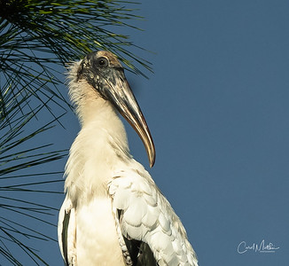 Wood Stork in the needles