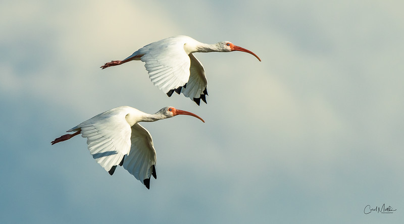 Ibis in flight - 2's company