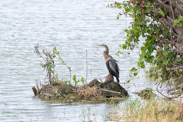 Anhinga in a pretty setting