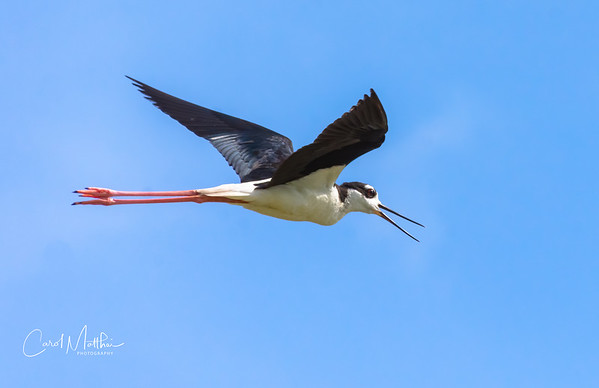 Black neck stilt     fly by-5