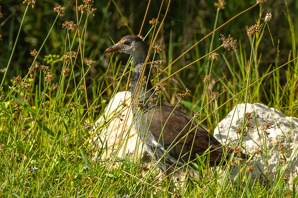 Gallinule youngster in the grass