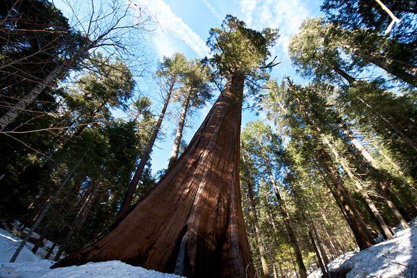 Merced Grove Redwood