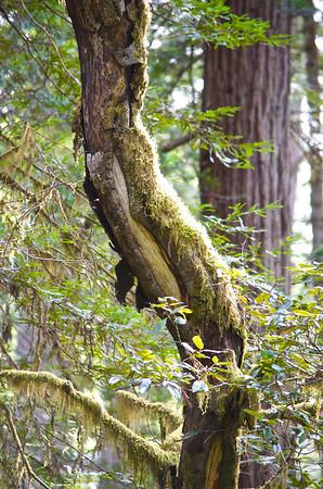 Crooked Tree with Redwood - Eureka CA