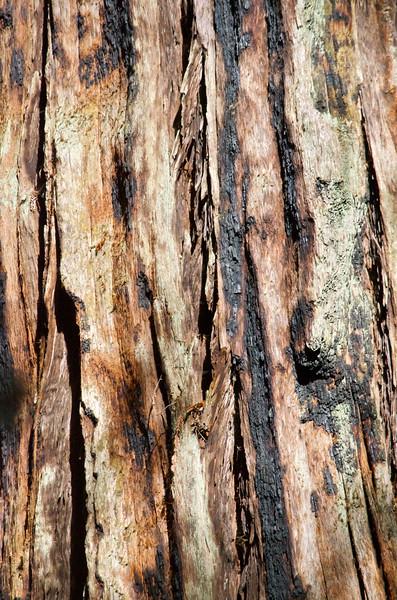 Charred Bark of Redwood