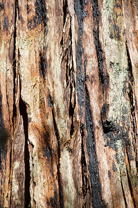 Charred Bark of Redwood
