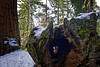 """This thousand year old sequoia tree is called """"The Fallen Monarch."""""""