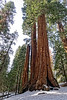 Huge sequoia trees along General Grant Tree Trail in Kings Canyon NP.