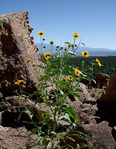 Wildflower Growing in Puye site in NM