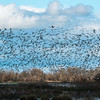 Snow and Ross's Geese in Number
