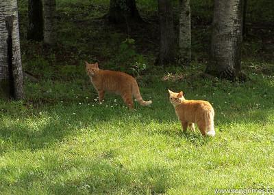 Tigers of Huberdeau