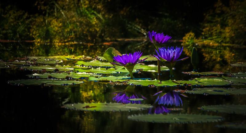 The Lily Pond 82.jpg
