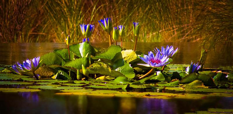 The Lily Pond 68.jpg