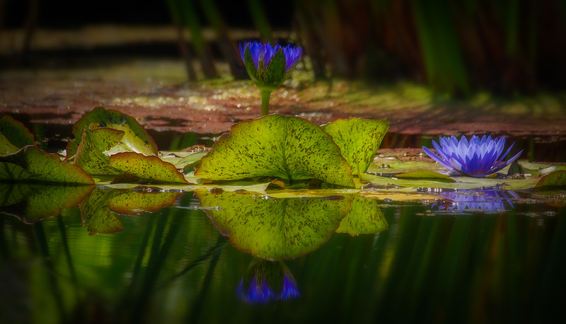 The Lily Pond 79.jpg