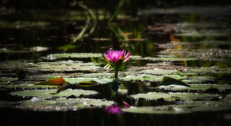 The Lily Pond 80.jpg
