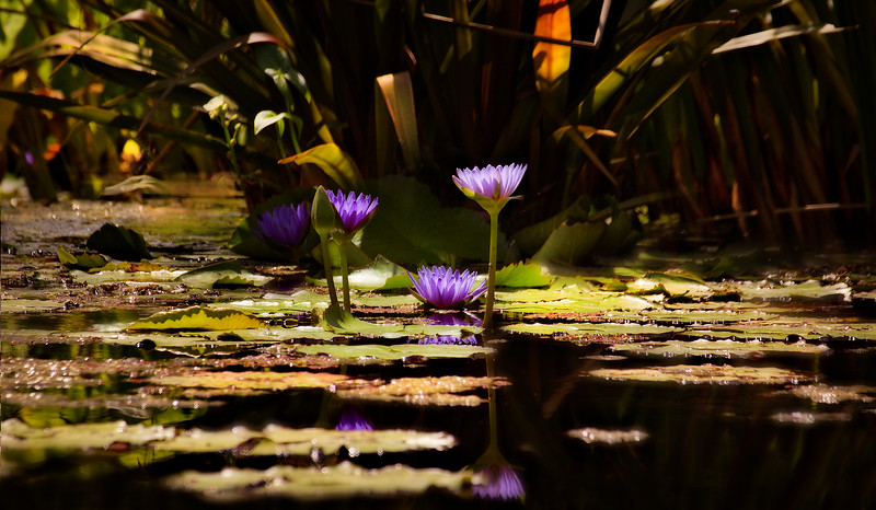 The Lily Pond 81.jpg