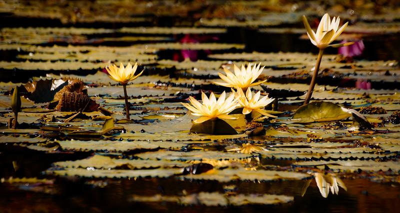 The Lily Pond 96.jpg