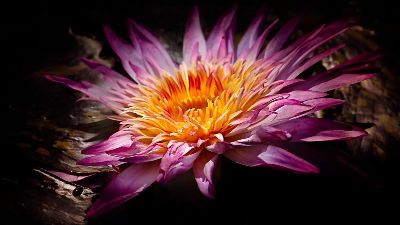 The Lily Pond 26.jpg