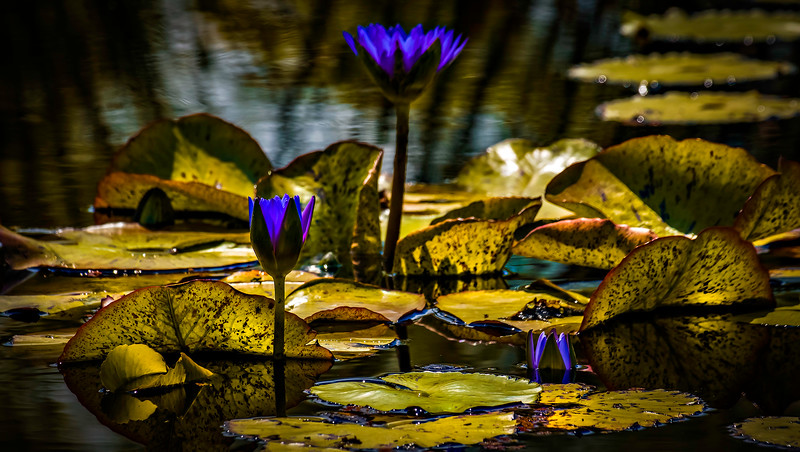 The Lily Pond 77.jpg
