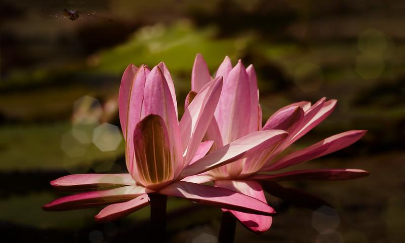 The Lily Pond 85.jpg