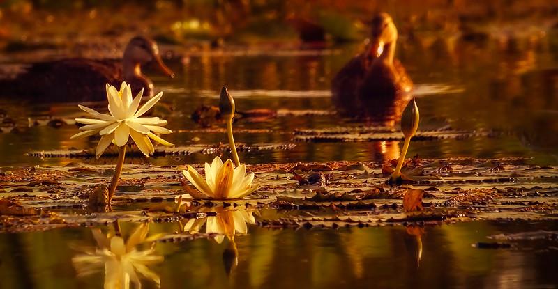 The Lily Pond 105.jpg