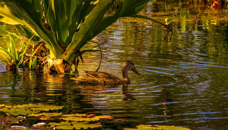 The Lily Pond 50.jpg