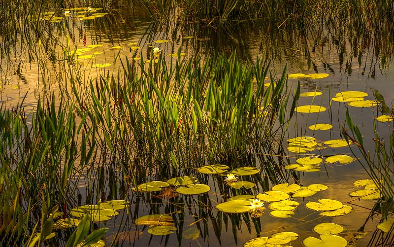 The Lily Pond 102.jpg