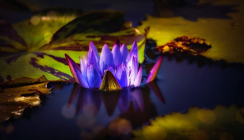The Lily Pond 86.jpg