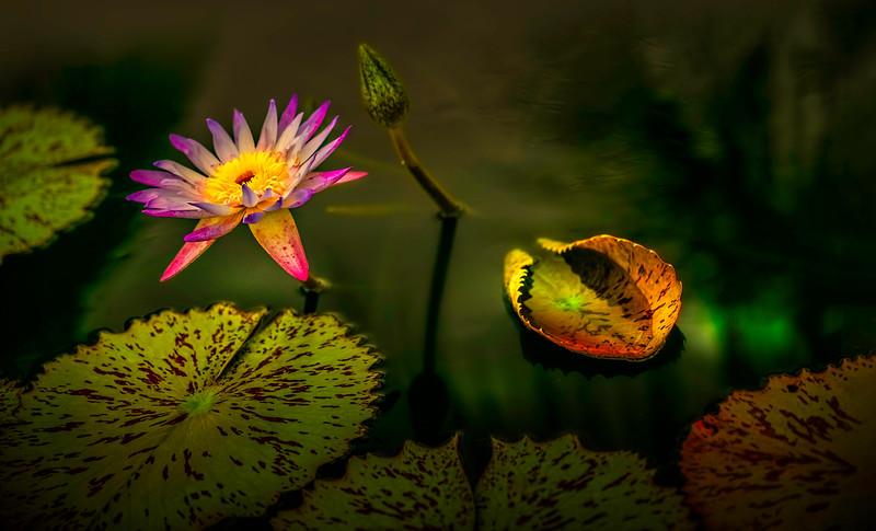 The Lily Pond 9.jpg