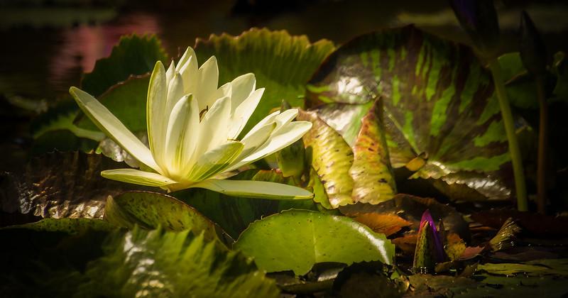 The Lily Pond 84.jpg