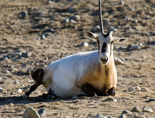 The morning was perfect at The Living Desert in Palm Desert, California, and at first we did not notice that one of the resident Oryx, with just one horn, was a little more than just overweight.