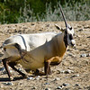 "Our future mom was changing positions - if she was doing more of that beforehand it probably would not come to all this... But it's good for the Oryx! The population was at one time pronounced ""extinct in the wild"". Oryx adapted to the tough desert environment vie ability to walk many miles to find another source of food or drink. This adaptation become its own enemy when guys in 4x4's and with machine guns found out about their inability to run very fast. Imagine how manly they felt zooming effortlessly in their Toyota's and running this beautiful animals into the ground. Through the efforts of different agencies and our own, Phoenix ZOO in breeding the Oryx in captivity and reintroducing them to the wild there are again wild hordes of Oryx in Israel, Saudi Arabia and even in Kuwait (once leader in Oryx preservation now allowing to many oil leases on the preserve grounds."